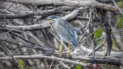 Socózinho - Striated Heron (sileneandrade10) Tags: sileneandrade socozinho butoridesstriata striatedheron jericoacoara ave pássaro bird naturezanature nikoncoolpixp900 hdr
