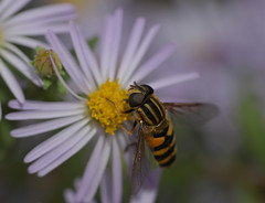 Marsh lover (cotinis) Tags: insect fly dipera syrphidae eristalinae helophilus helophilusfasciatus northcarolina piedmont canonef180mmf35lmacrousm fridayflyday inaturalist explore