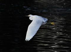 Snowy Egret, Egretta thula (Dave Beaudette) Tags: birds snowyegret egrettathula reidpark tucson pimacounty arizona