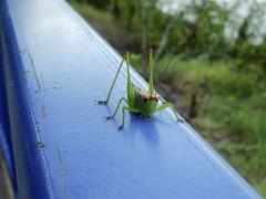 Grass hopper @ Tennessee River Park (mark owens2009) Tags: grasshopper tennesseeriverpark chattanoogatennessee chattanooga macro rail green
