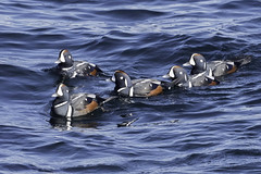 harlequin ducks (m) (material guy) Tags: harlequinducks male massachusetts rockport cathedralledge capeann massaudubon joppaflats