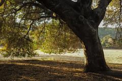 Oak (bingley0522) Tags: leicametype240 zeissoptonsonnar50mmf20 ranchosanantonio cupertino eveninglight oaks liveoak santaclaracounty coastalcalifornia autaut