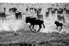 Africa in black and white (Herrmaennchen) Tags: gnu animal animals wildlife serengeti tanzania africa tiere nature travel reise ngc