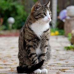 Que lindo gato (Eslegendario) Tags: gatos cats hermoso beautiful animales animals pets mascotas bello flickr popular art
