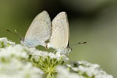 Butterfly Love (blackcatcraft) Tags: macro mygarden butterfly butterflies