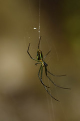 DSC_1260 (Hachimaki123) Tags: okutama 奥多摩町 奥多摩 日本 japan animal 虫 動物 arachnid arácnido araña spider クモ