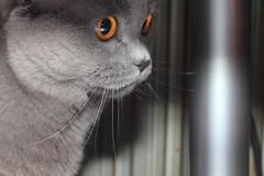 Antonio (Сonstantine) Tags: canon catslife cat catsoftheworld catscatscats cute photo pic british animals britishcat meow