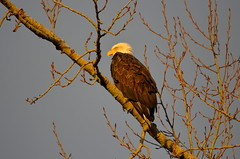 Eagle (Neal D) Tags: bc mission nicomenslough bird eagle baldeagle haliaeetusleucocephalus