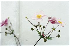 Summer Flowers - Kodak Ultramax 400 (magnus.joensson) Tags: sweden swedish skåne august flower fujica st605n kodak ultramax 400 c41 grain carl zeiss jenna ddr 50mm pancolar m42