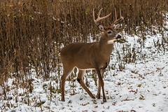 Posing Buck (gvbtom) Tags: chagrinriverpark deer ohio snow wildlife