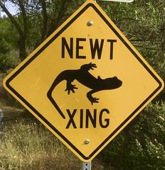 South Park Drive, Tilden Regional Park, Berkeley (dougsmi) Tags: salamander newt salamanders newts amphibians
