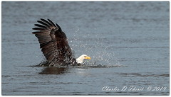Splash! (ctofcsco) Tags: 11600 1d 1dmark4 1dmarkiv 1div 600mm canon canonef600mmf4lisiiusm conowingo didnotfire digital eagle ef600mmf4lisiiusm eos eos1d eos1dmarkiv esplora evaluative explore explored f40 fishing flashoff iso100 mark4 markiv nature northamerica photo pic pretty renown river shutterspeedpriorityae supertelephoto susquehanna usa water wildlife eagleday eagles