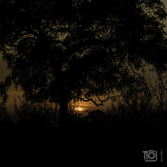 Bush sunrise (Paul Perton) Tags: fuji krugerpark southafrica talamati xpro2 zeiss35mmf14distagon bush morning posted shadow silhouette sky sunrise tree veldt