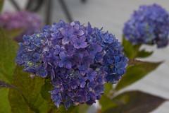 November Blue (brucetopher) Tags: hydrangea blue blossom flower garden bloom grow defiant flowering pompom fall autumn winter changeofseason cold purple petals