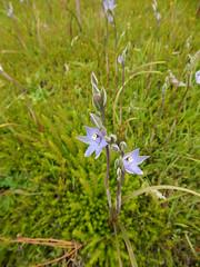 DSC_4427 (5) best slender sun orchids in my lawn (jeaniephelan) Tags: sunorchid orchid wildorchid orchidsoftasmania wildflower