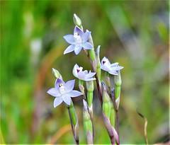 DSC_4427 (13) best slender sun orchids in my lawn (jeaniephelan) Tags: sunorchid orchid wildorchid orchidsoftasmania wildflower