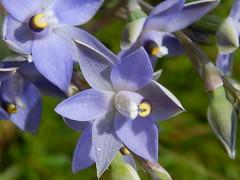 DSC_4427 (11) best slender sun orchids in my lawn (jeaniephelan) Tags: sunorchid orchid wildorchid orchidsoftasmania wildflower