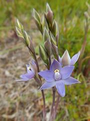 DSC_4427 (9) best slender sun orchids in my lawn (jeaniephelan) Tags: sunorchid orchid wildorchid orchidsoftasmania wildflower
