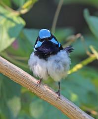 Baggy Breeches (christinaport) Tags: bird birds wild free australia nsw superbfairywren