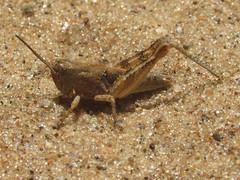 Melanoplus fluviatilis, nymph (tigerbeatlefreak) Tags: melanoplus fluviatilis insect grasshopper orthoptera acrididae wisconsin
