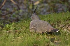 Crested Pigeon (Luke6876) Tags: crestedpigeon pigeon bird animal wildlife australianwildlife nature