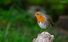🇬🇧 Robin BW (Explored 17/11/19 #8) (vickyoutenphoto) Tags: vickyouten robin wildlife nature nikon nikond7200 sigma sigma150600mmc burtonwood warrington uk