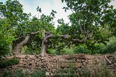 Churro mediamanga mangotero (SantiMB.Photos) Tags: 2blog 2tumblr 2ig coaner santmateudebages barcelona bages primavera spring higueras figtrees geo:lat=4183308440 geo:lon=171510320 geotagged argensolacastellnoudebages cataluna españa