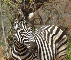 ( sub adult ) Zebra (Pixi2011) Tags: zebra krugernationalpark southafrica africa wildlifeafrica wildlife wildanimals animals nature