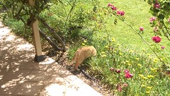 IMAG2170 Found something in the garden... (drayy) Tags: fico orange tabby cat garden hunt hunting flower flowerbed