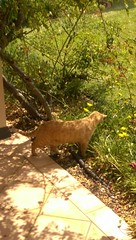 IMAG0003 Found something in the garden... (drayy) Tags: fico orange tabby cat garden hunt hunting flower flowerbed