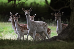 Fallow does, fawn and pricket (andy_AHG) Tags: wildlife autumn animals nikond300s yorkshire fallowdeer does fawns