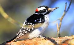 hairy woodpecker male at Lake Meyer Park IA 653A5386 (naturalist@winneshiekwild.com) Tags: hairy woodpecker park county lake male reis iowa larry meyer winneshiek