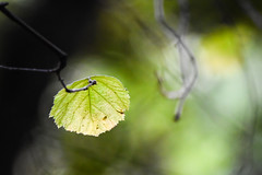Herald of autumn (一葉知秋) - California Hazelnut (Corylus cornuta var. californica) (Minder Cheng) Tags: tildenbotanicgarden californiahazelnut tildenregionalpark plant berkeley california unitedstates