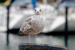 From face to face | I want your Sandwich (picsessionphotoarts) Tags: nikon nikonphotography nikonfotografie nikond850 urbanromantix downtown innenstadt norddeutschland herbst autumn afsnikkor80400mmf4556gedvr seagull möwe ostsee balticsea warnemünde hafen harbor port