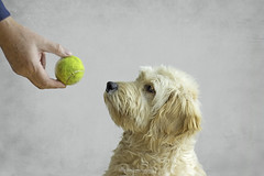 Always keep your eye on the ball (aenee) Tags: aenee nikond7100 nikkor50mm118d peoplepets smileonsaturday 7months goldendoodle sam dog hond puppy ball bal pse14 20191116 dsc5078