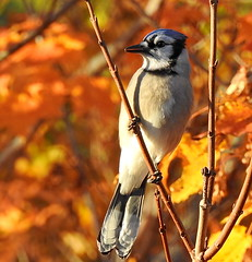 Blue Jay On A Sunny October Morning (vtpeacenik) Tags: bird bluejay morning october vermont