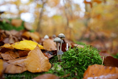 small mashrooms (photos4dreams) Tags: spaziergang walk feld wald wiese forest trees bäume photos4dreams p4d photos4dreamz pilz pilze fungi fungus mushroom mushrooms susannahvvergau