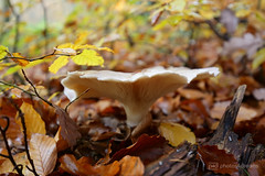 autumn's friend (photos4dreams) Tags: spaziergang walk feld wald wiese forest trees bäume photos4dreams p4d photos4dreamz pilz pilze fungi fungus mushroom mushrooms susannahvvergau