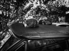 Vie de chats en décapotable... / Cats life in convertible car... (vedebe) Tags: animaux chats chat cat voitures ville city rue street urbain urban noiretblanc netb nb bw monochrome