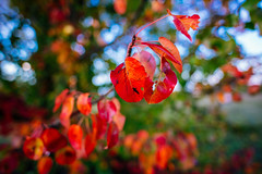 colorful leaves (Schwarzwaldfotograf) Tags: colors autumn herbst herbstblätter dof nature rot baum nikon d750 20mm 18g natural light