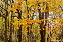 Jesen u šumama oko Klane, studeni 2019. (4) (MountMan Photo) Tags: klana šuma rijeka primorskogoranska croatia forest bojejeseni autumncolors landscape krajolik flickrunitedaward