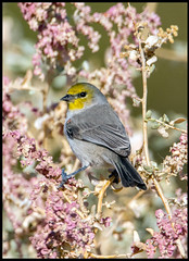 Verdin (Ed Sivon) Tags: america canon nature lasvegas wildlife western wild southwest clarkcounty desert vegas flickr bird us nevada preserve