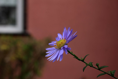 "Aster • <a style=""font-size:0.8em;"" href=""http://www.flickr.com/photos/69570948@N04/49072648733/"" target=""_blank"">View on Flickr</a>"