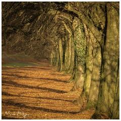 Golden Path (Mark Edgar) Tags: northernireland belfast stormont shadows sunlight autumn tunnel trees goldenleaves