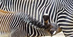 Tg Nbg             without words           191030 (Eddy L.) Tags: tiergartennürnberg tiergartenfreundenürnbergev nuremberg zebra grevyzebra equusgrevyi grevyszebra mutterukind teamsony minoltaafhs28300mmg sonyalpha77ii eddyl2019