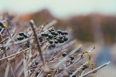 The beauty of the days gone by (erlingraahede) Tags: november berries vsco tones denmark canon melancholic poetic autumn mood raahedep
