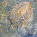 Chile-02820 - Sea Turtle