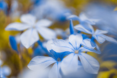 tiny blues (Lr Home) Tags: blueflower flower macro colors processed sel30m35 a6000