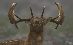 Staggering (Ann and Chris) Tags: stag close antlers impressive symmetrical looking majestic posing stunning unusual visceral wild