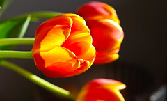 Leuchtend / Lucent (schreibtnix on'n off) Tags: natur nature pflanzen plants blumen flowers blüte blossom tulpe tulip nahaufnahme closeup leuchtend lucent olympuse5 schreibtnix